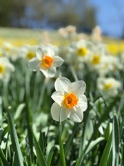 Daffodil_Flowers_in_a_Field_During_Spring